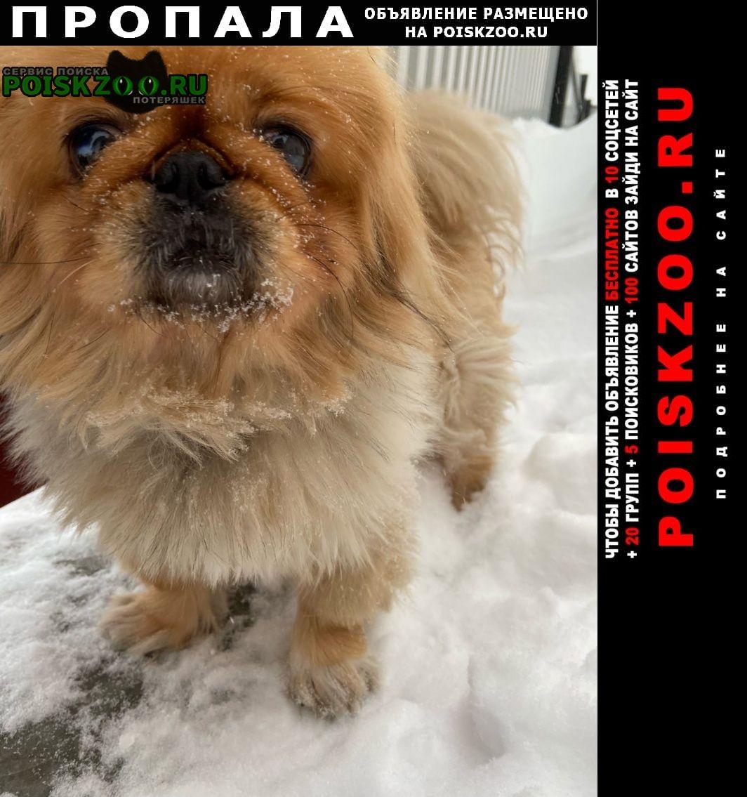 Пропала собака кобель пекинес, нашедшему вознаграждение Кемерово