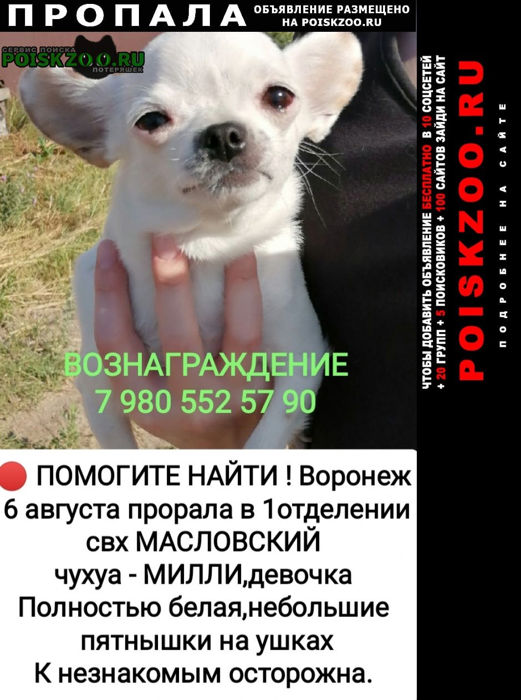 Пропала собака чихуа потерялась Воронеж