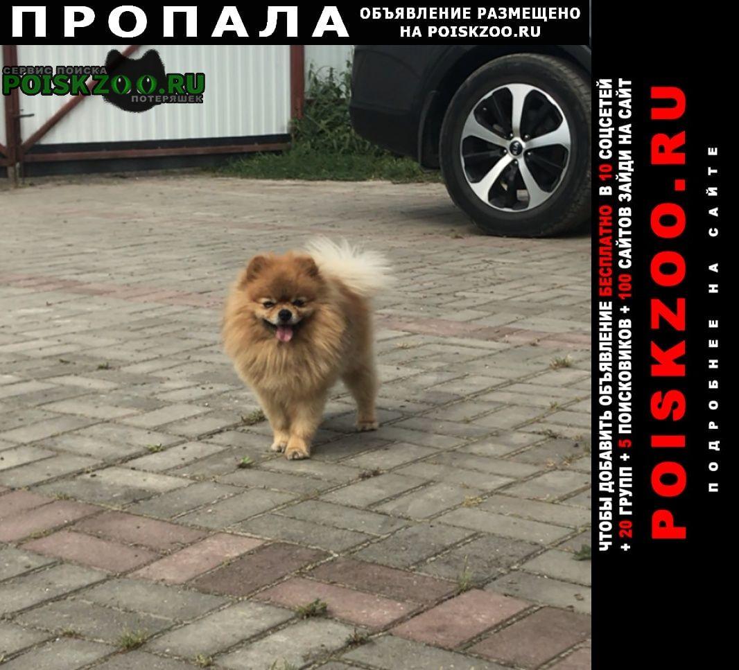 Пропала собака кобель помогите найти собаку. померанский шпиц Обнинск