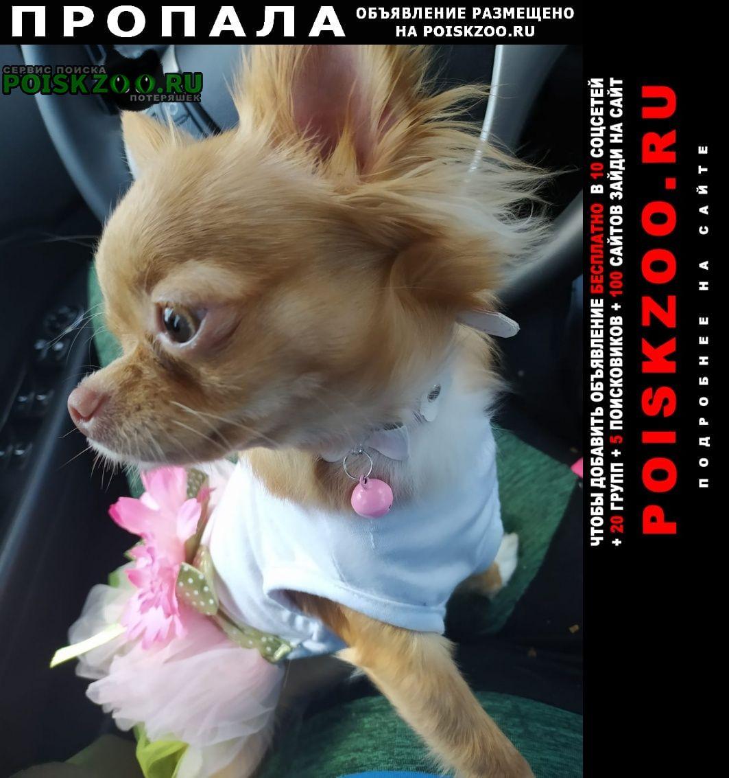 Пропала собака породы чихуахуа девочка Волгоград