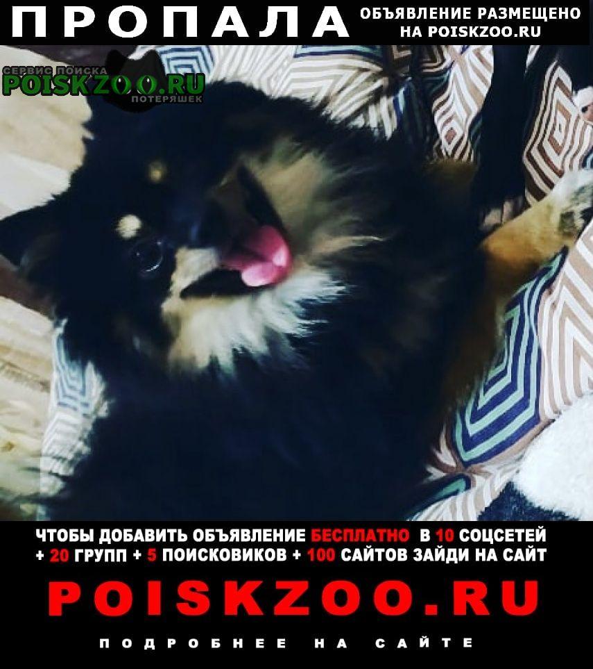 Пропала собака кобель шпиц. Воронеж