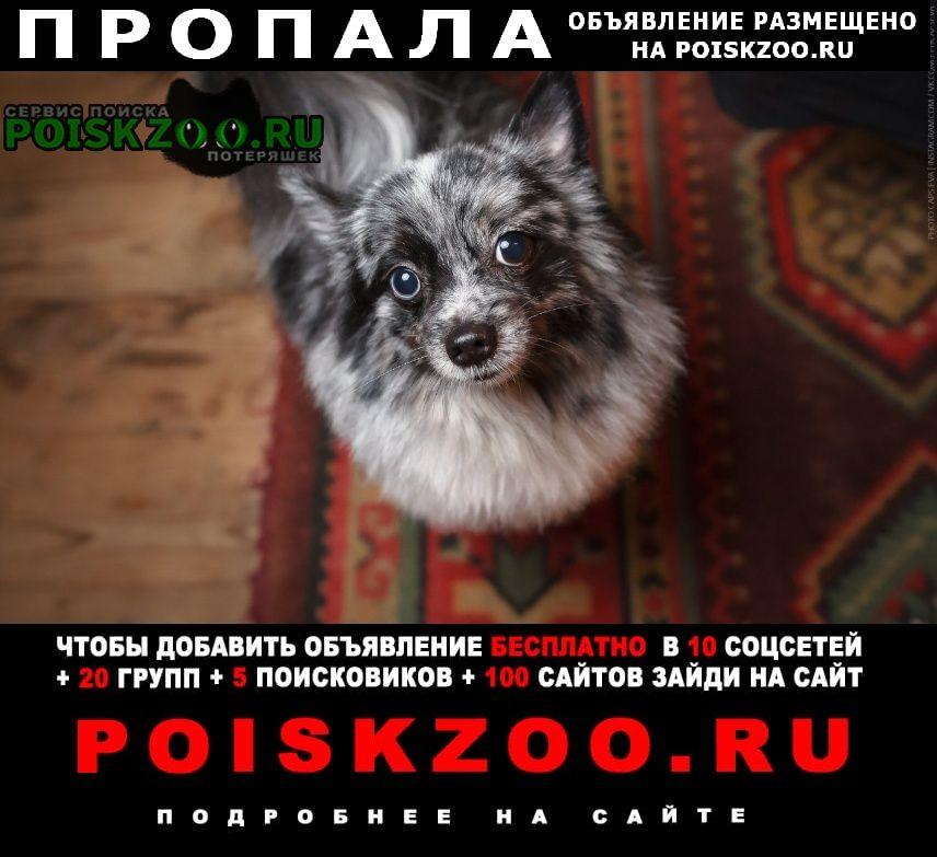 Пропала собака кобель шпиц Новосибирск
