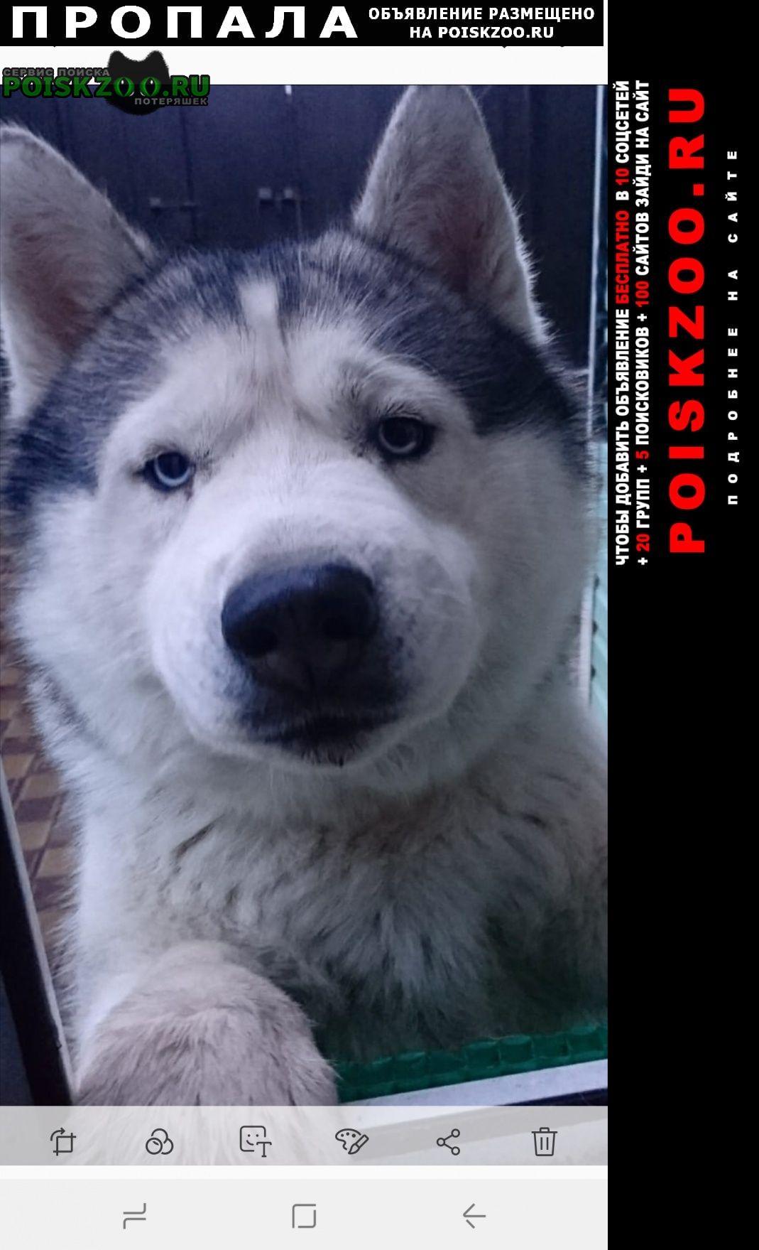 Пропала собака кобель кабель маламут патрик 3 года Туапсе