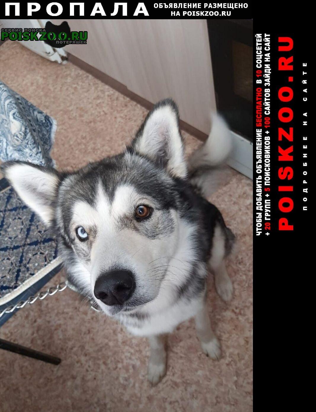 Пропала собака кобель сибирская хаска Михайлов