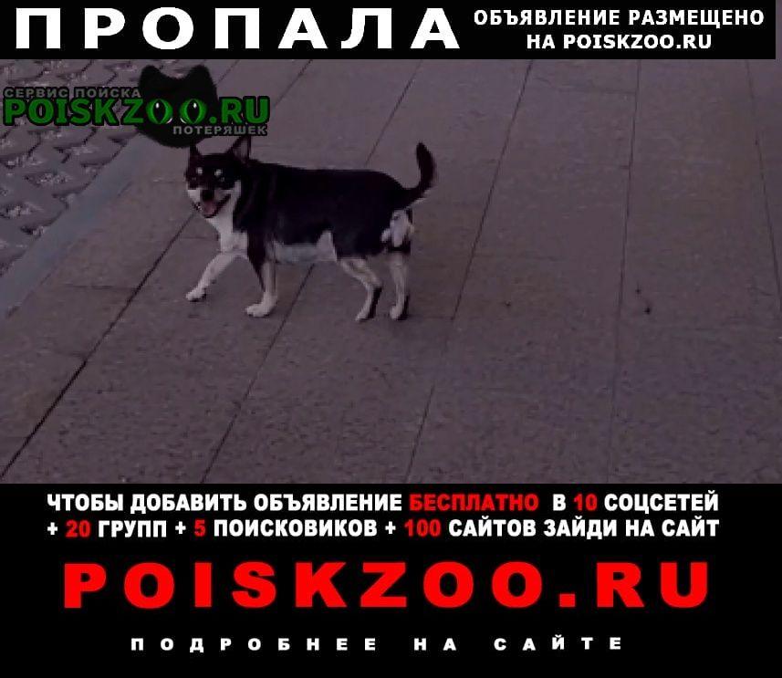 Москва Пропала собака породы чихуа-хуа, девочка