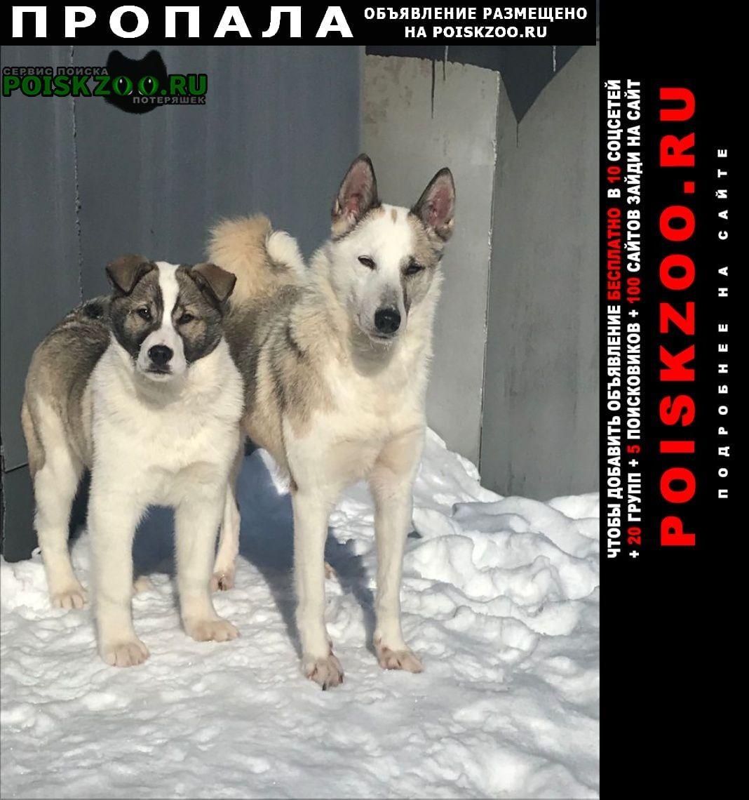 Томск Пропала собака кобель и две собаки-лайки