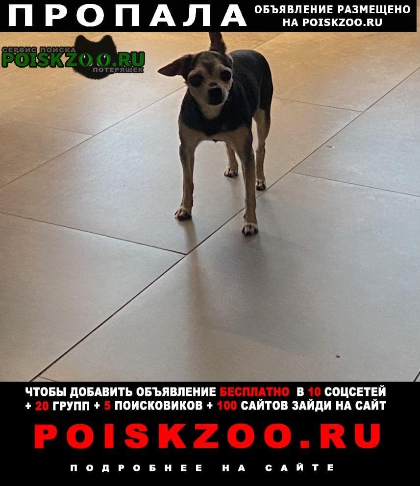 Горно-Алтайск Пропала собака кобель той терьер ( )