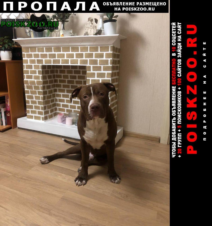 Пропала собака кобель питбуль-прайтер, коричневый Санкт-Петербург
