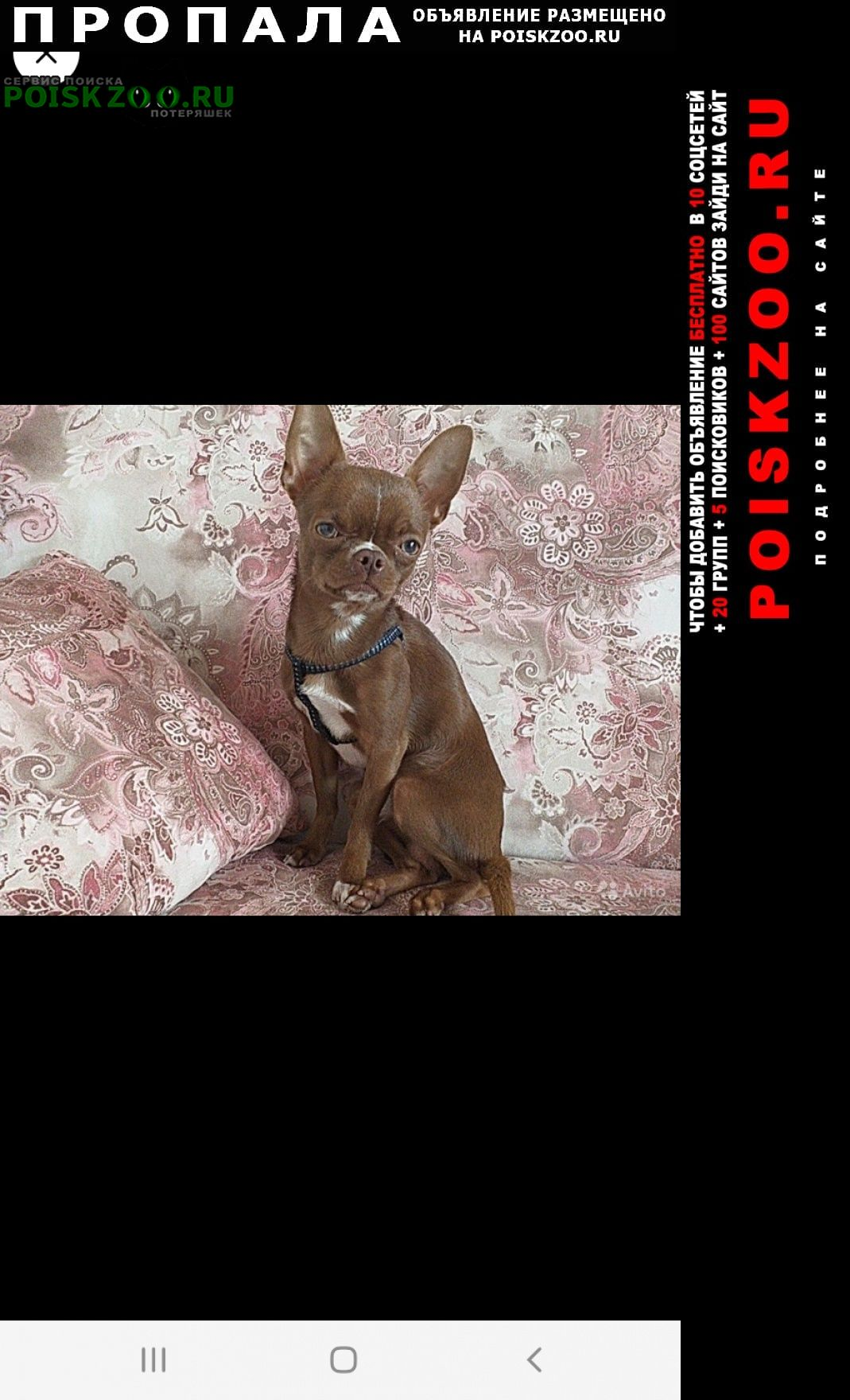 Пропала собака кобель чихуахуа Казань