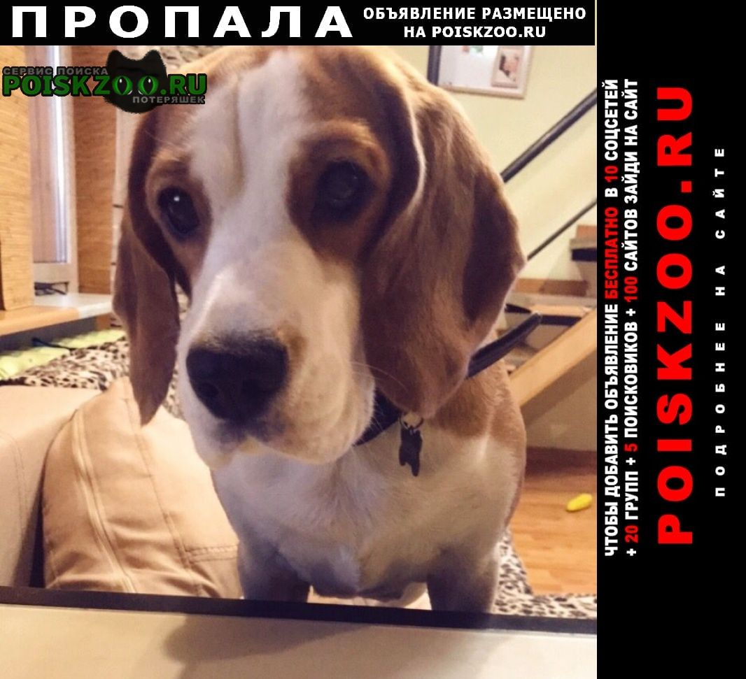 Пропала собака породы бигль Мурманск