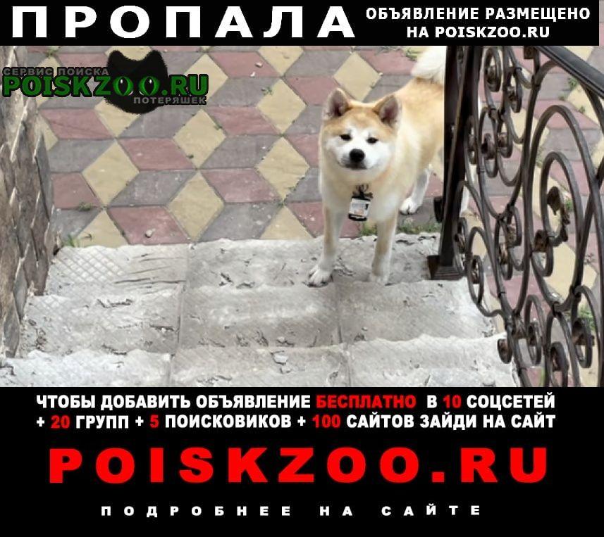 Пропала собака акита, красный ошейник Ростов-на-Дону