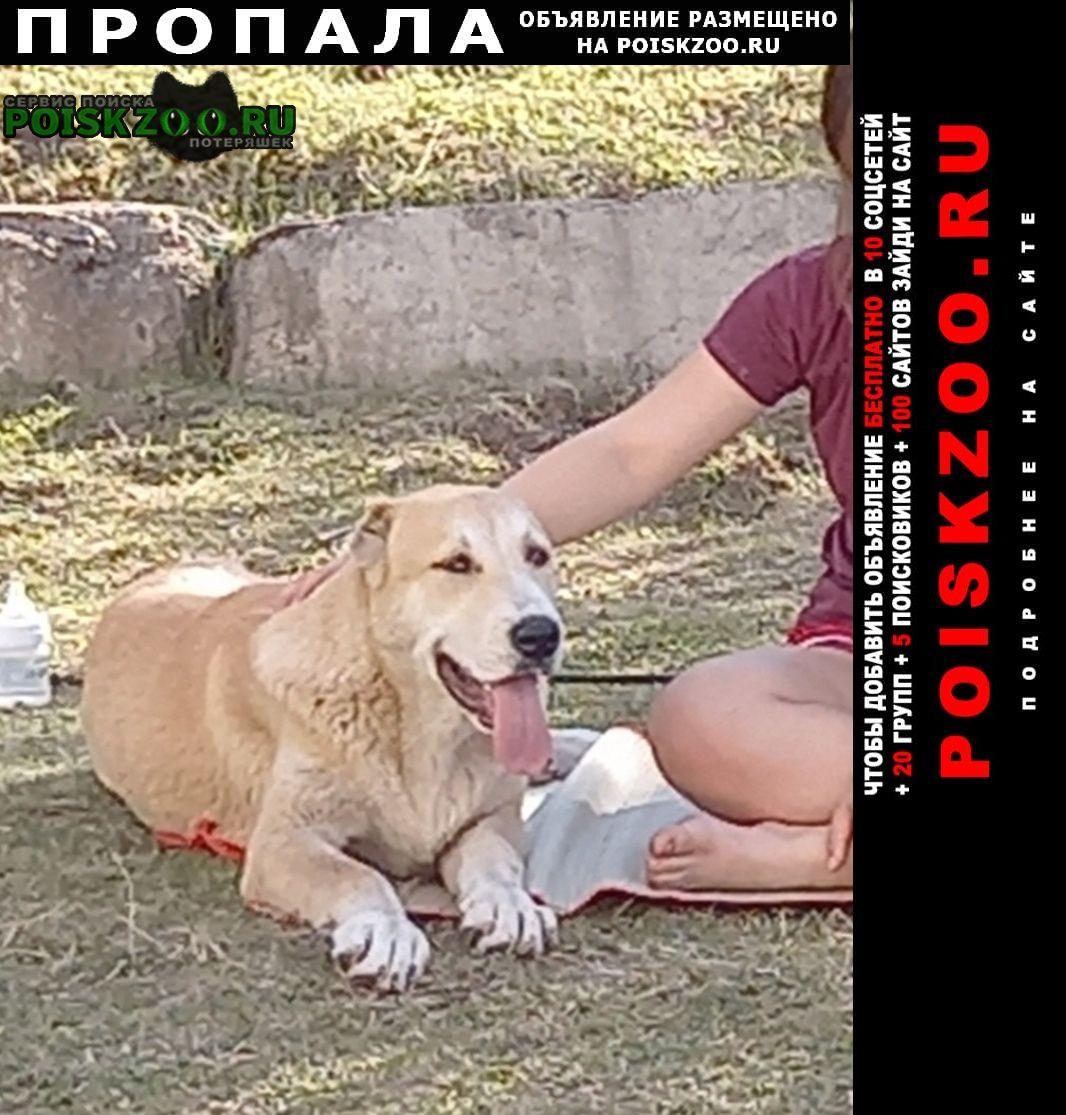 Пропала собака алабай молодая белорыжая Красноярск