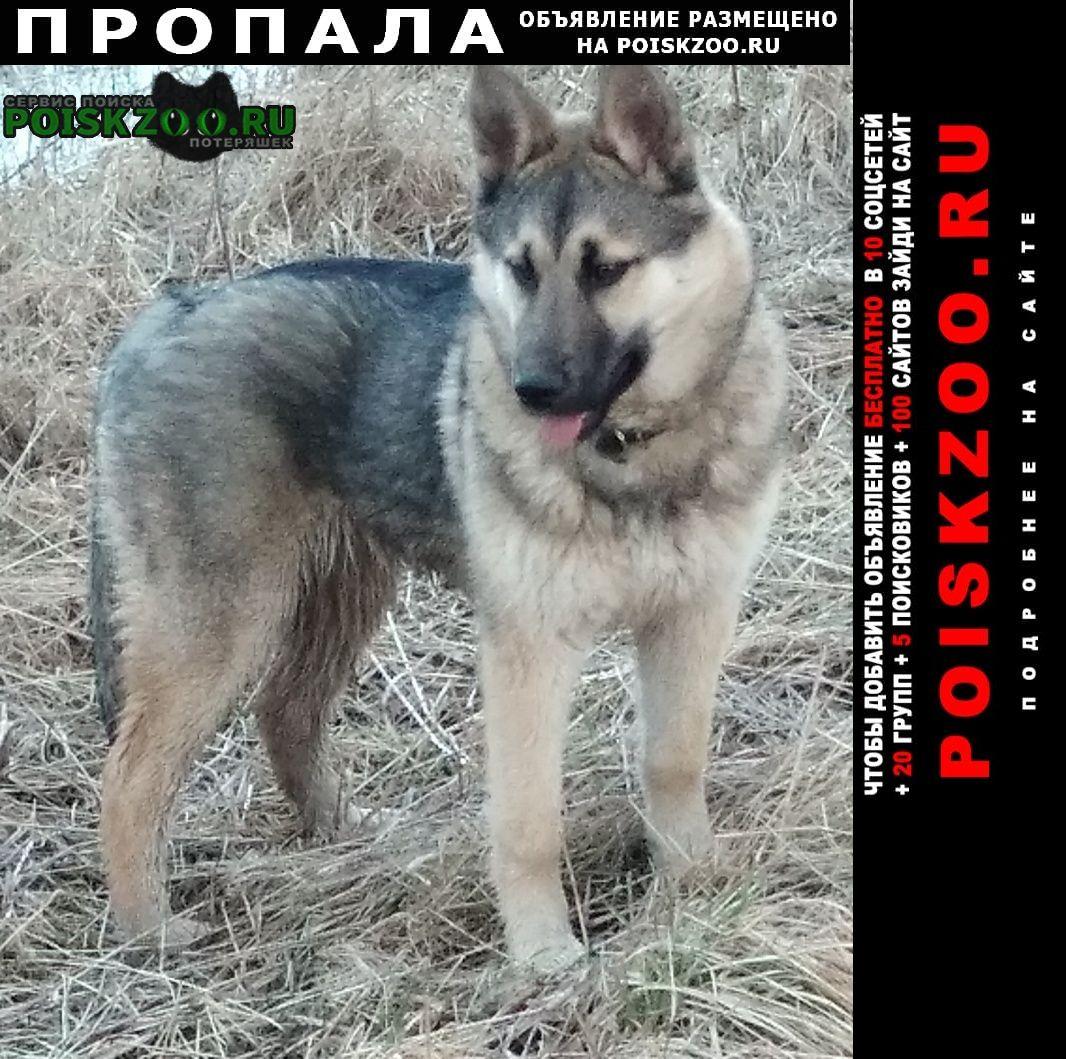 Великий Новгород (Новгород) Пропала собака кобель кличка таймыр.