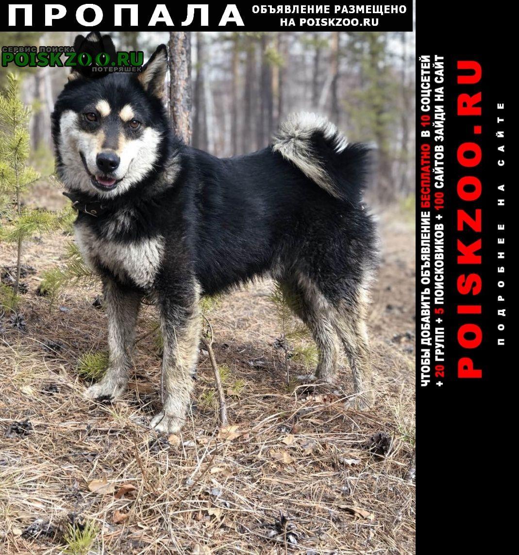 Пропала собака кобель лайка Чита