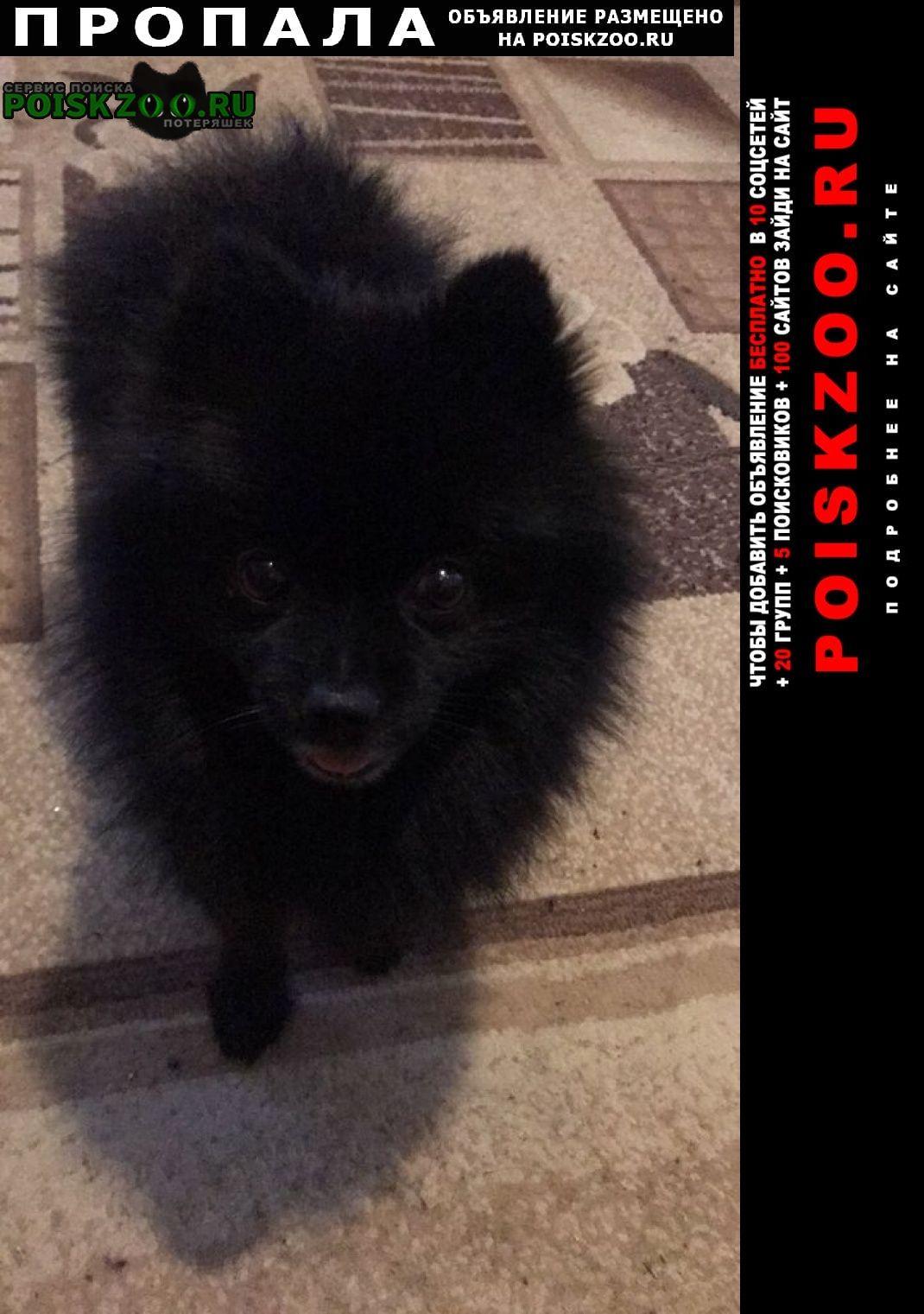 Большое Село Пропала собака кобель чёрный шпиц. мальчик. зума
