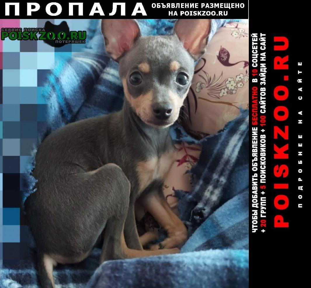 Пропала собака кобель щенок-русский той Одинцово
