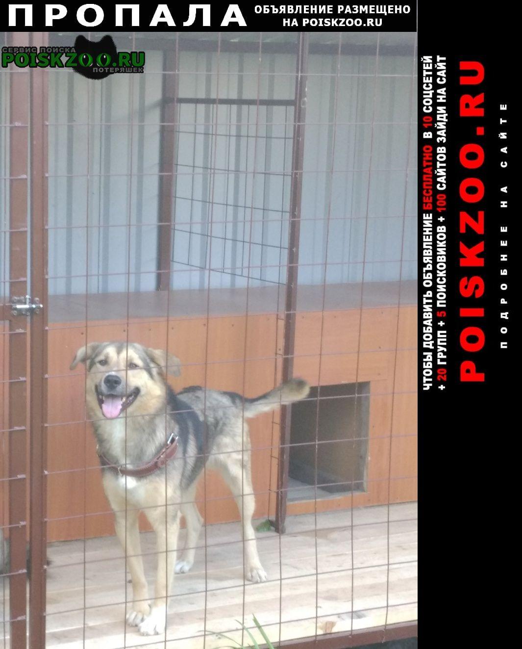 Пропала собака кобель серо-бежевый в рыжем ошейнике Белоусово