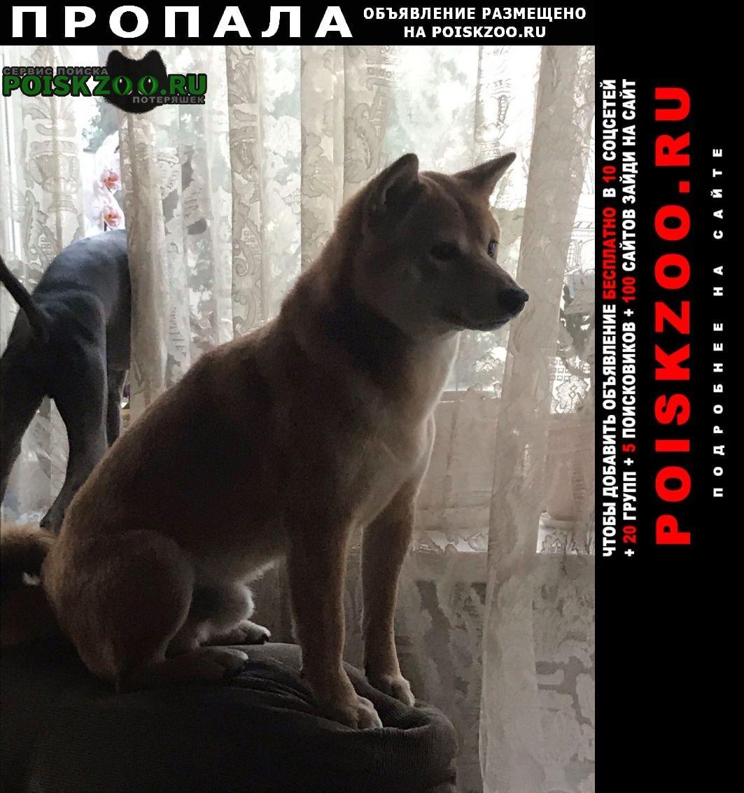Пропала собака кобель сиба ину Москва