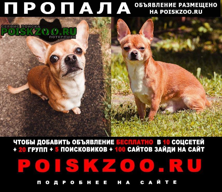 Пропала собака кобель рыжий, похож на чихуахуа Солнечногорск