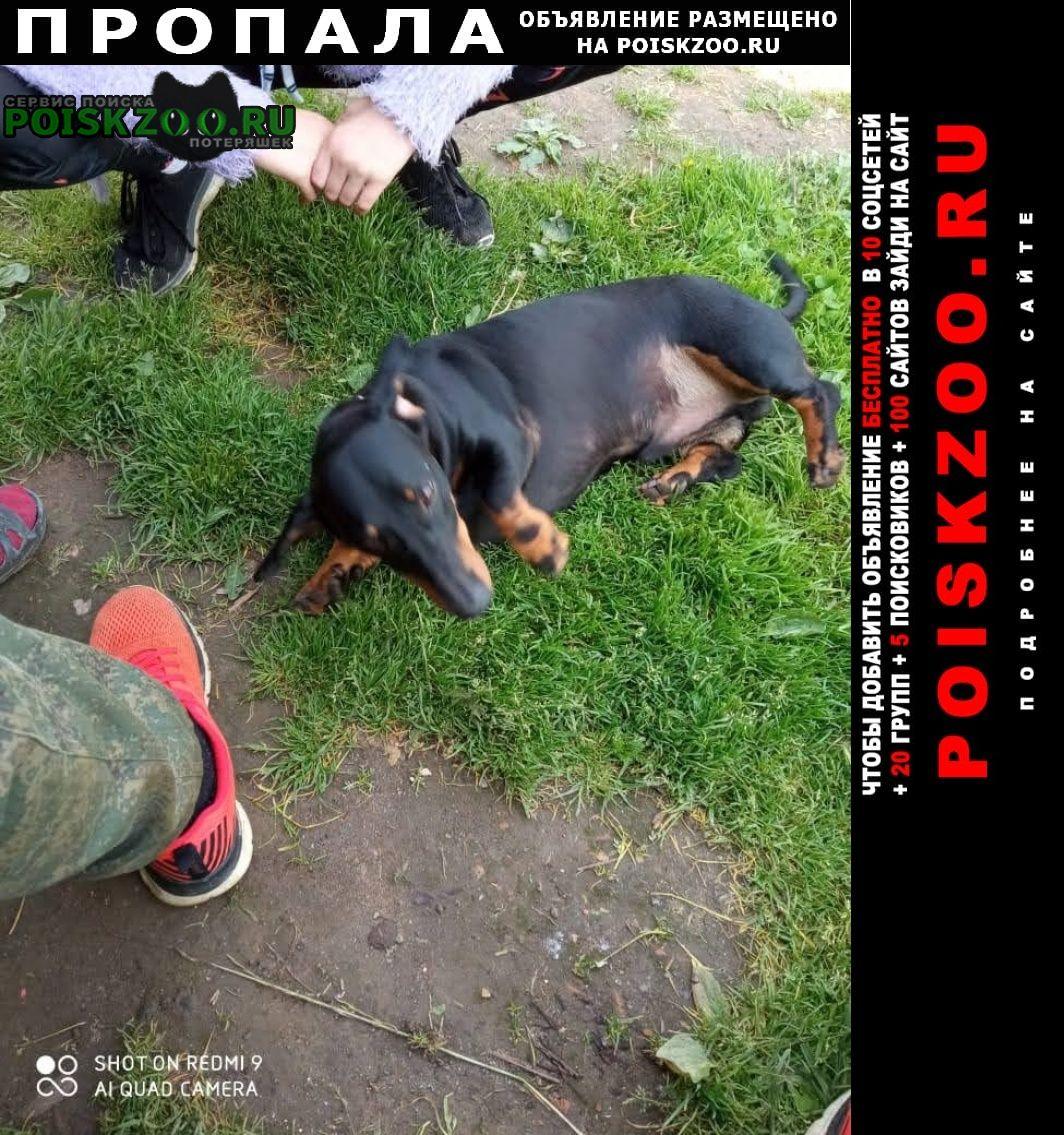 Пропала собака кобель такса стандартная Сергиев Посад