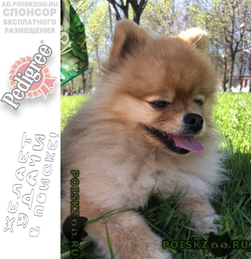 Пропала собака кобель шпиц г.Санкт-Петербург
