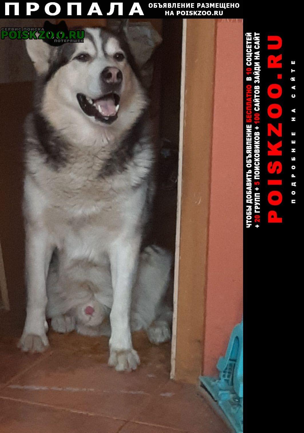 Пропала собака кобель маламут Москва