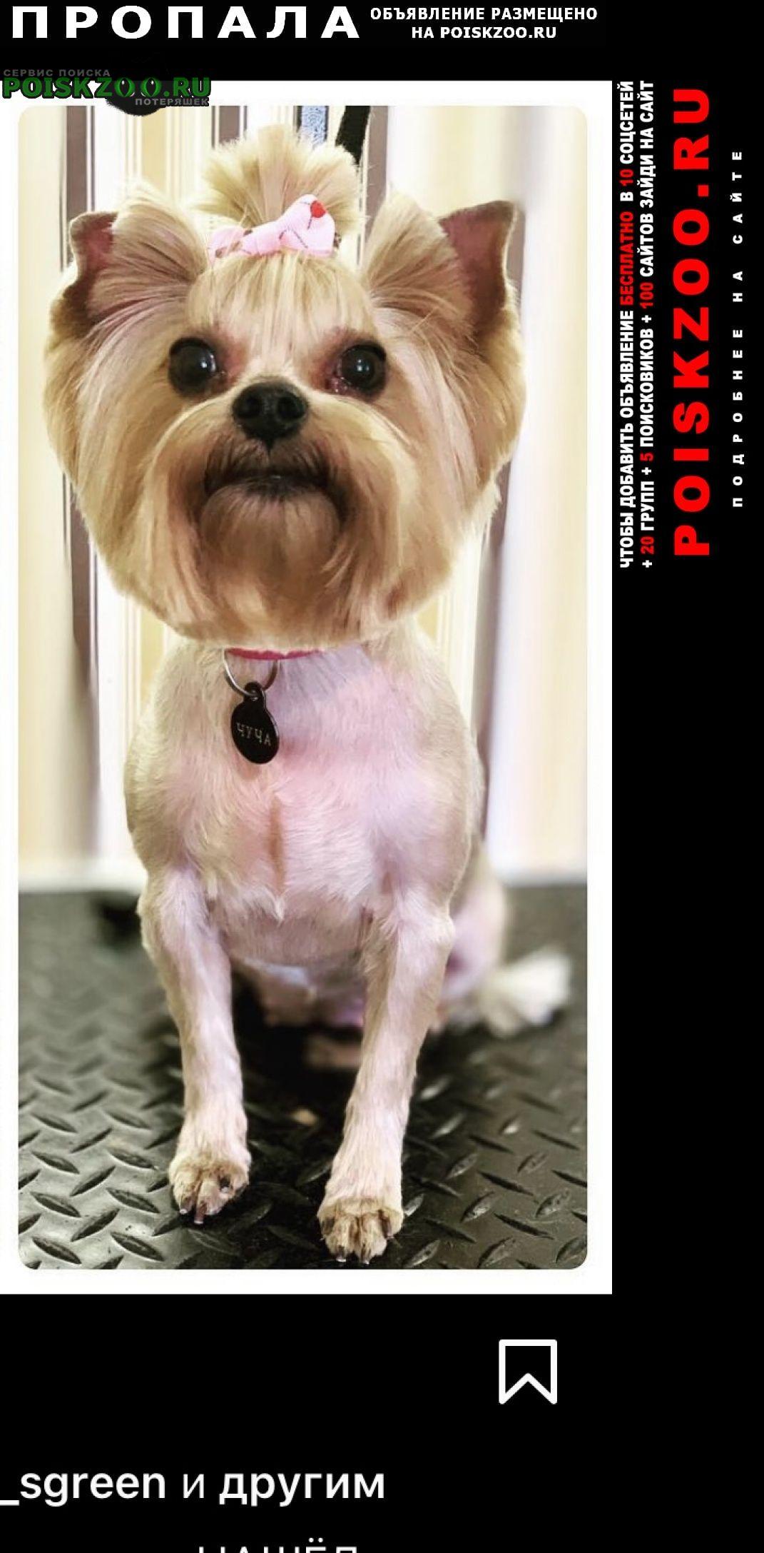 Пропала собака чуча 8 лет. йоркширский терьер мини Самара