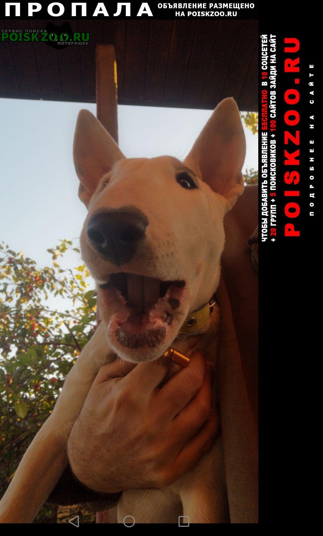 Пропала собака 3месяца, бультерьер Новосибирск