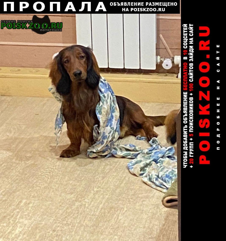 Пропала собака кобель длинношерстная такса лёва Кировск