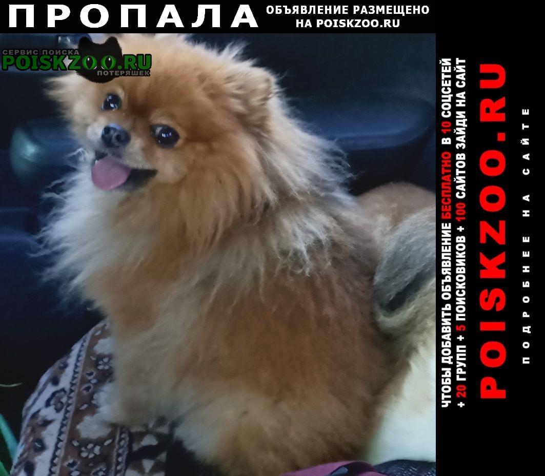 Пропала собака кобель шпиц рыжего окраса Волгоград