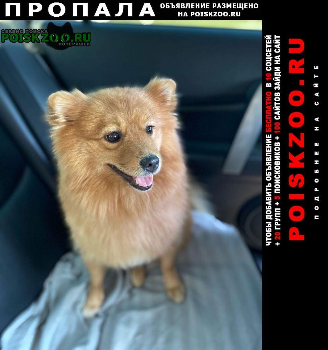 Пропала собака зовут буся шпиц немецкий Электросталь