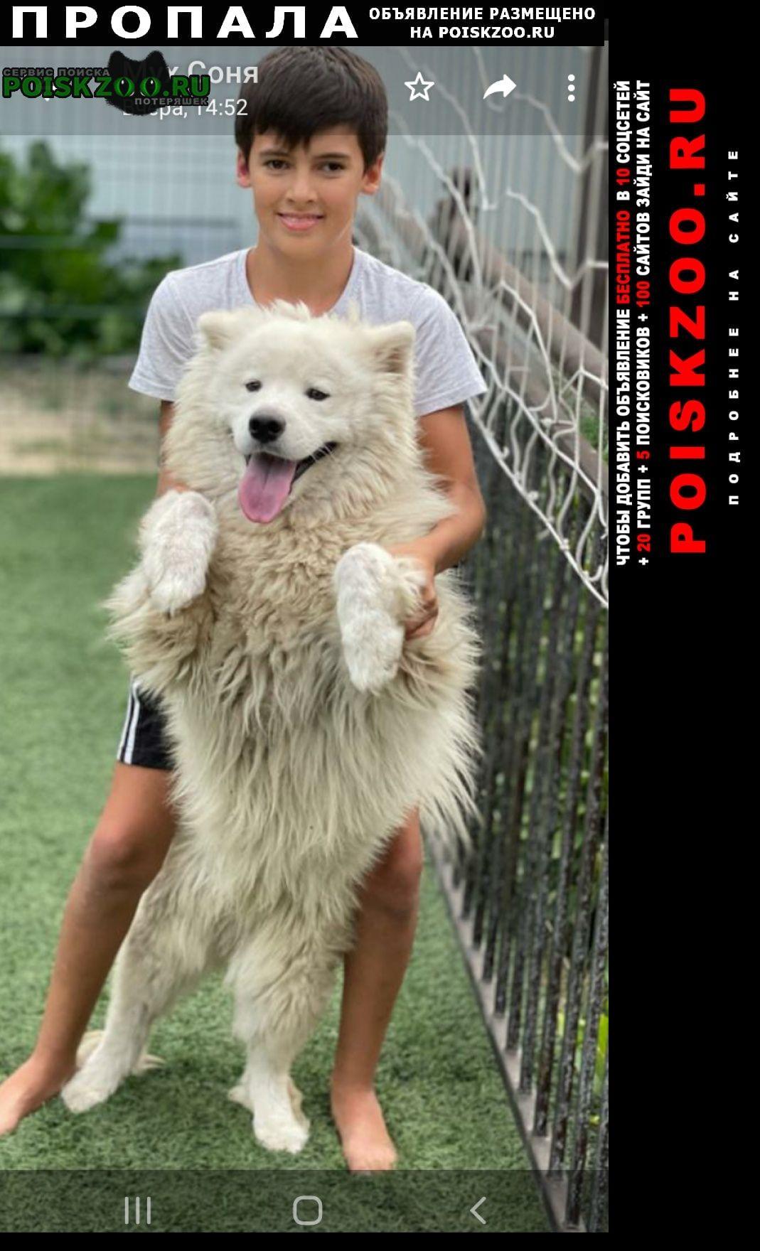 Пропала собака кобель самоед возраст 2 года Белгород