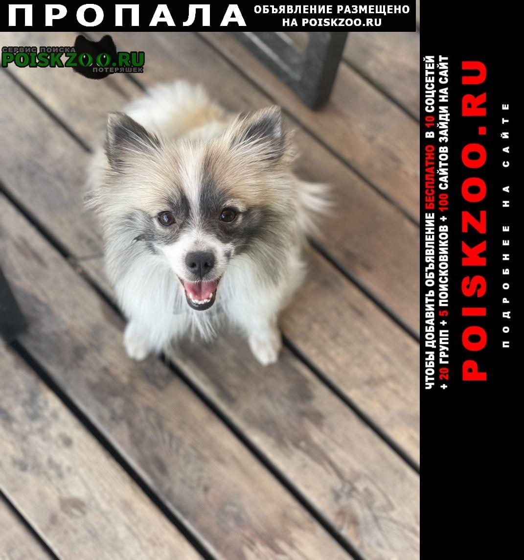 Пропала собака, метис шпица Москва