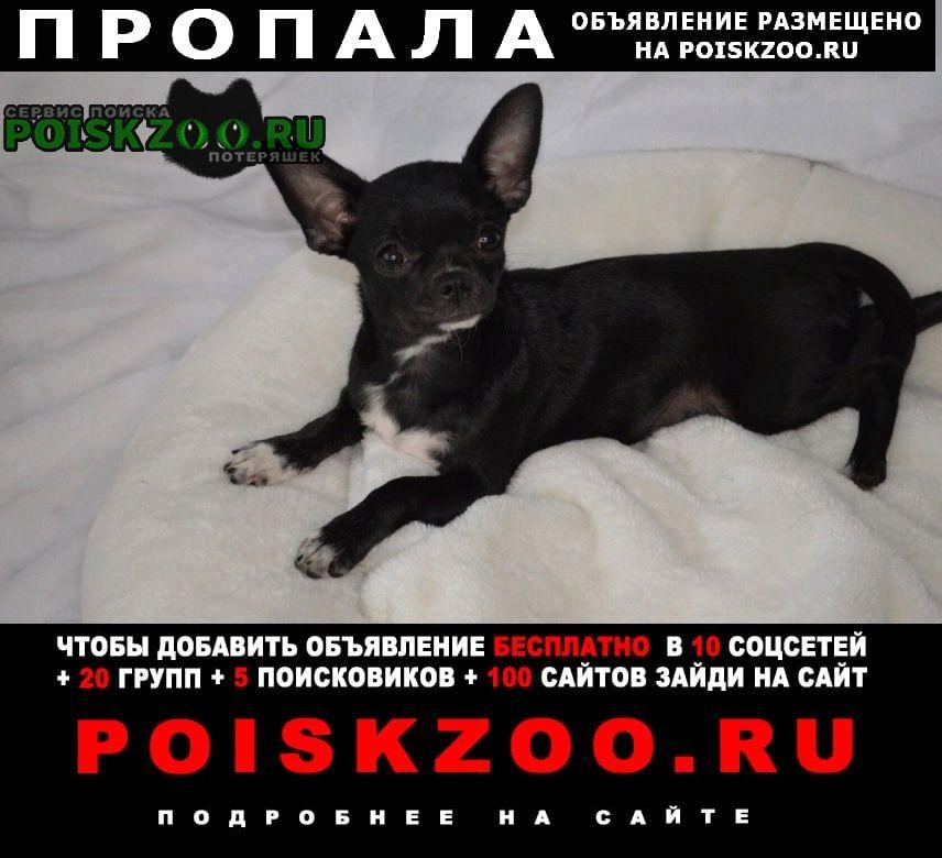 Пропала собака чихуахуа в Домодедово