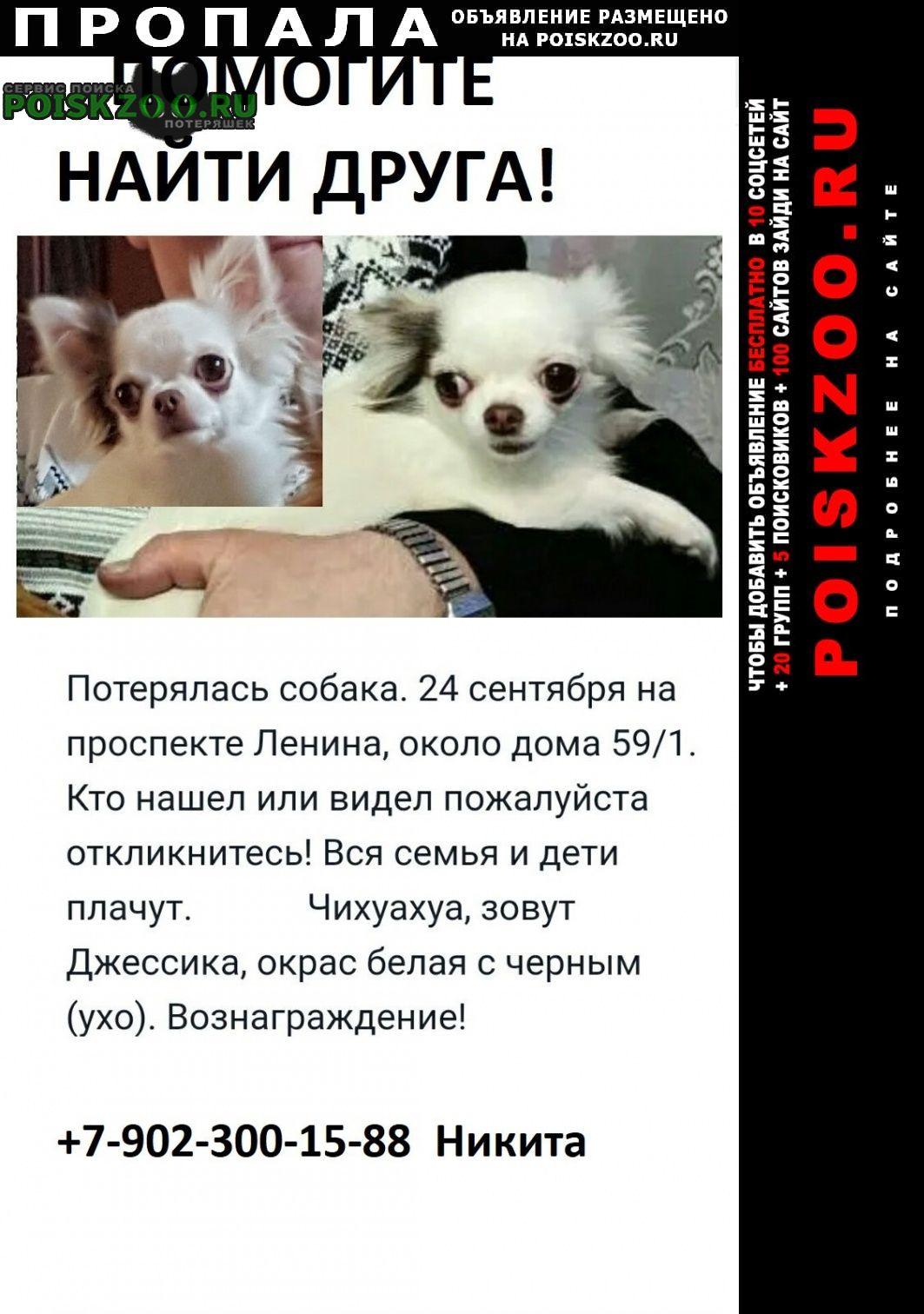 Нижний Новгород Пропала собака мини чихуахуа белая с черным (ухо)
