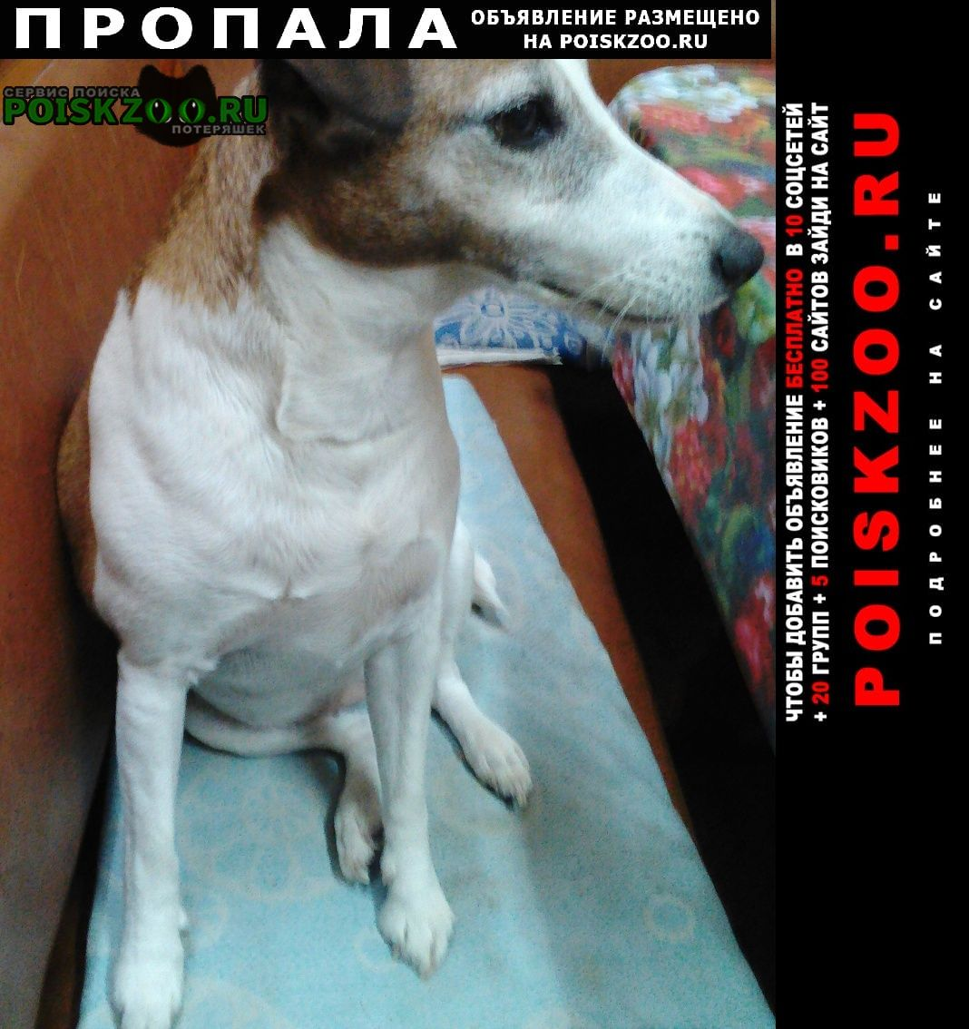 Пропала собака потерялась фокстерьер Белгород