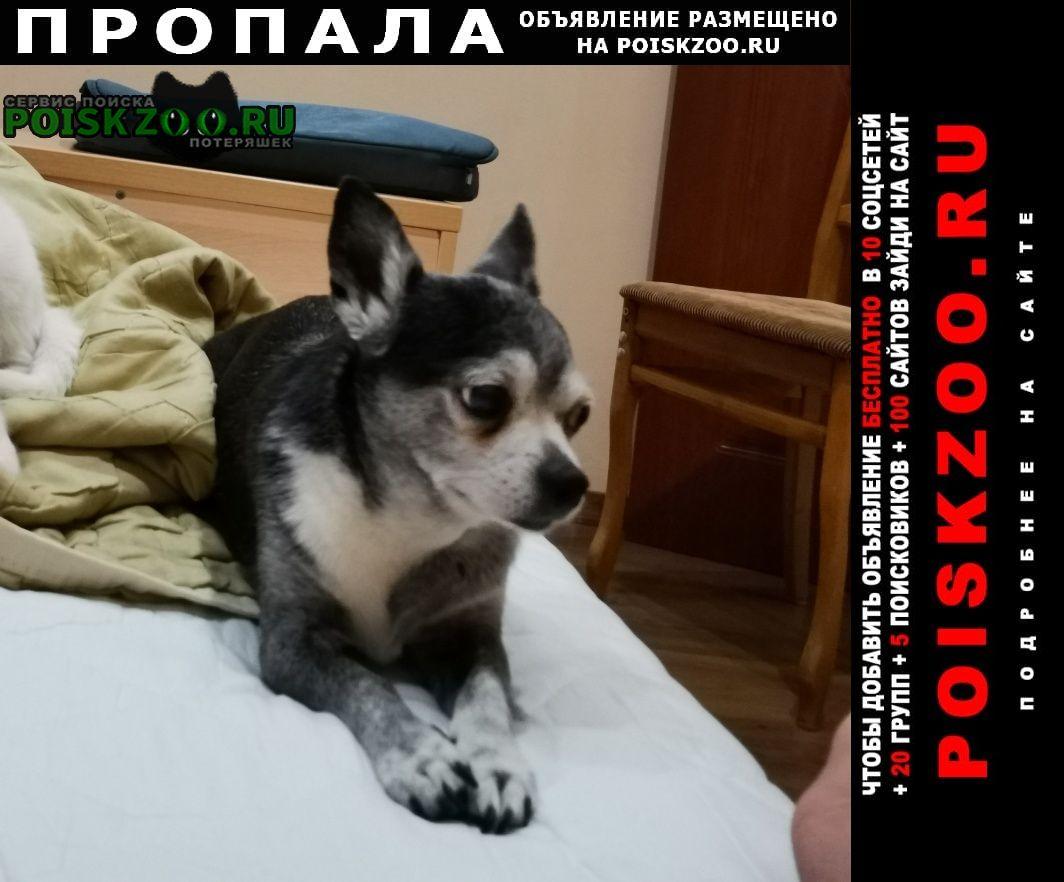 Пропала собака кобель чехуахуа Саратов