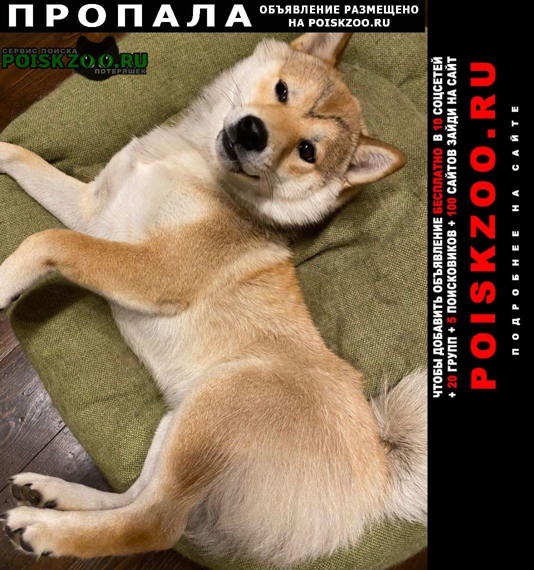 Пропала собака порода сиба-ину Удельная