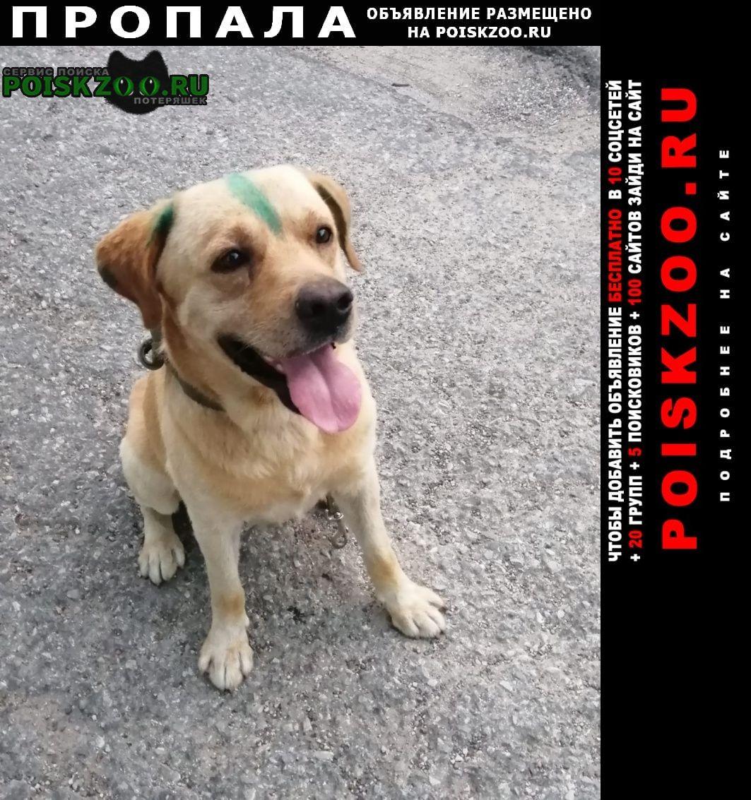Пропала собака кобель лабладор Новороссийск