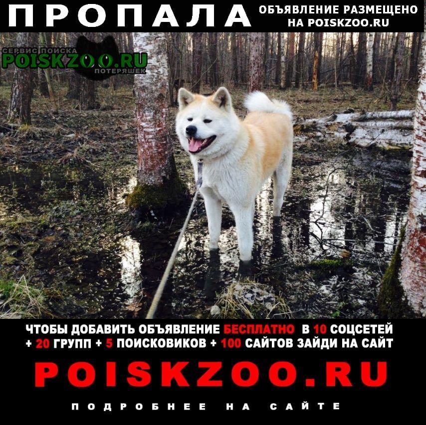 Москва Пропала собака кобель акита ину. новопеределкино
