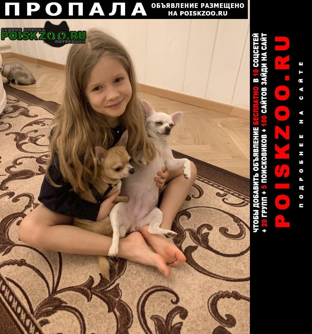 Москва Пропала собака белая чихуа м. каховка