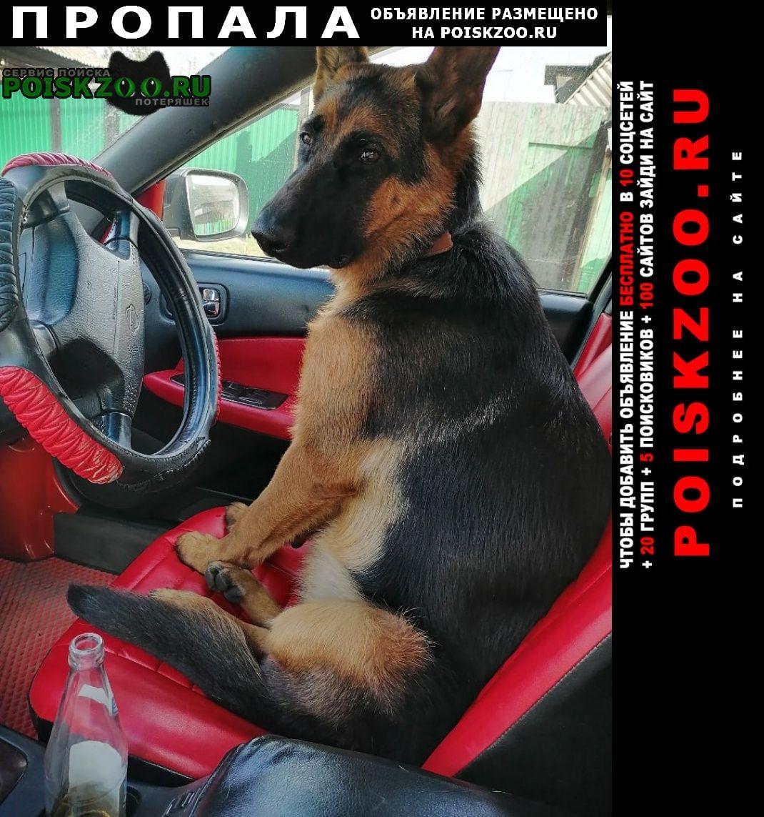 Пропала собака немецкая овчарка Абакан Хакасия