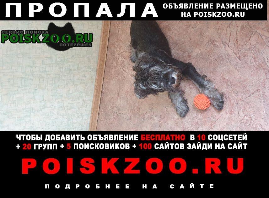 Пропала собака кобель щенок цвергшнауцер Покров