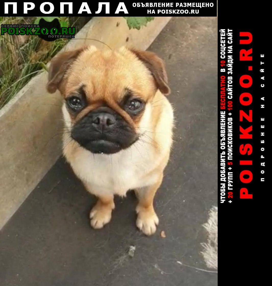 Железнодорожный (Московск.) Пропала собака мопс девочка