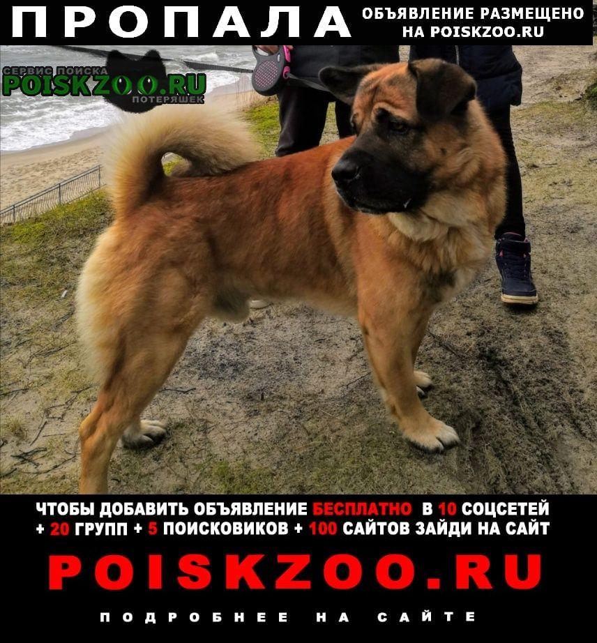 Калининград (Кенигсберг) Пропала собака кобель