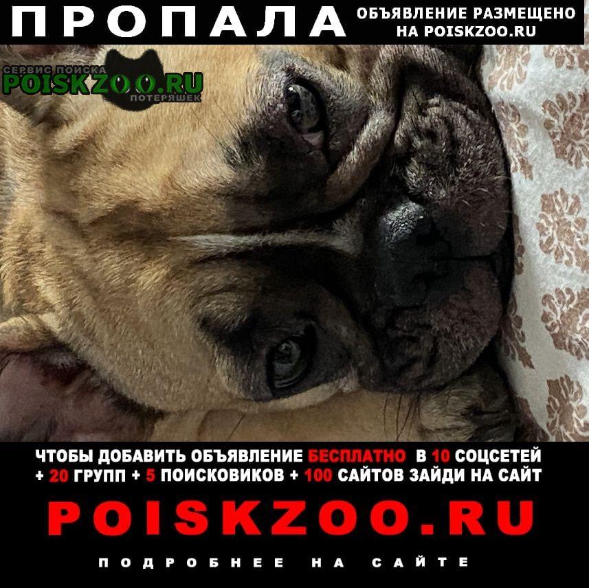 Пропала собака французский бульдог Ростов-на-Дону