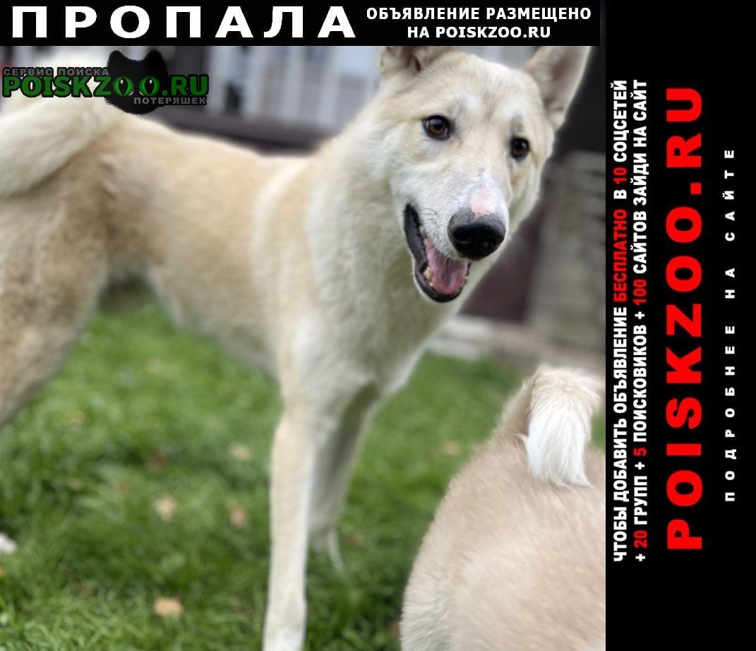 Дубна (Тульская обл.) Пропала собака кобель западно сербирская лайка