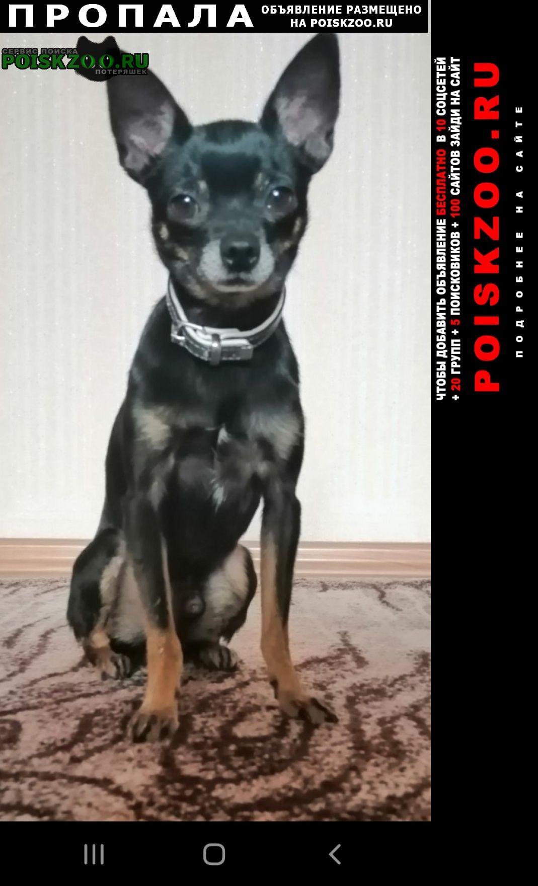 Пропала собака кобель мини русский той терьер. Челябинск
