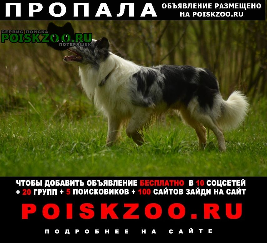 Истра Пропала собака кобель бордер колли