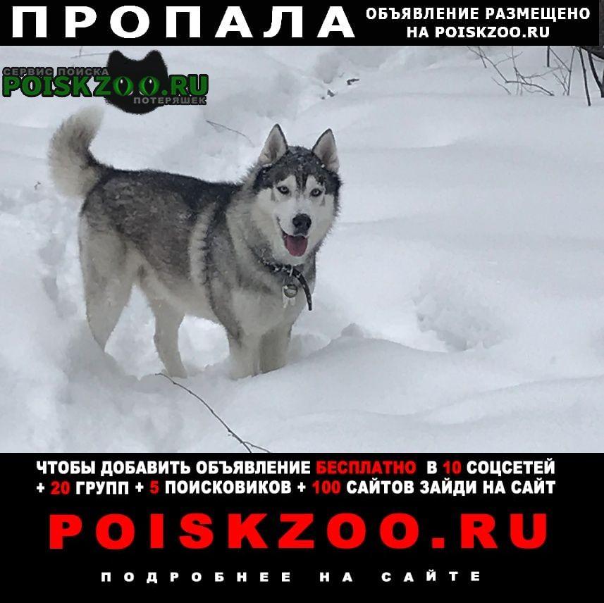 Пермь Пропала собака кобель хаски